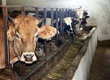 Kurbanlık hayvanlarda 'kene' riski
